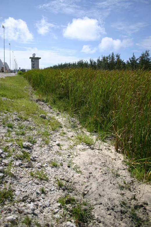 A freshwater marsh composed of nothing but Cattails. This is located on the eastern edge of the bomber ramp on Diego Garcia.