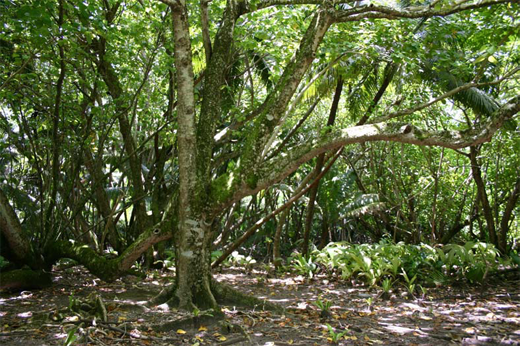 A Hernandia dominated forest on Diego Garcia.
