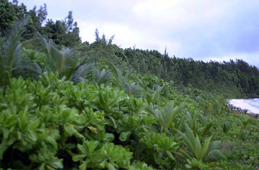 Typical ocean-side littoral hedge with Casuarina fringe inland.