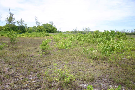 A Premna-dominated scrub land on Diego Garcia.