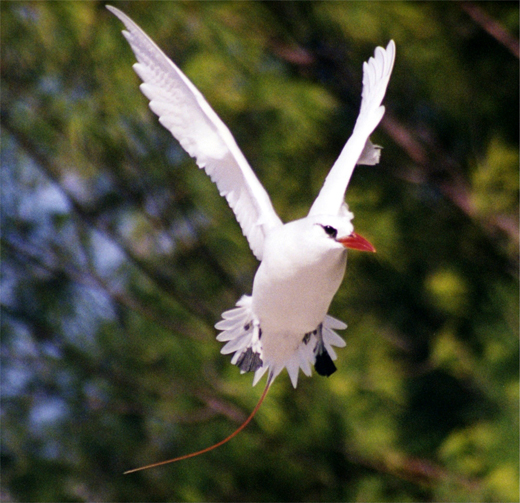 Red-Tailed Tropic Bird in flight. Several pairs nest near the cantonment area of the atoll.