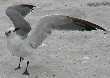 A Laughing Gull with its wings extended in a gull wing profile