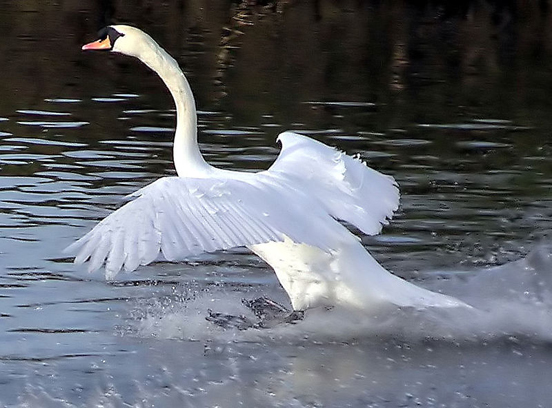 A Mute Swan alighting. Note the ruffled feathers on top of the wings indicate that the swan is flying at the stalling speed. The extended and splayed feathers act as lift augmenters in the same way as an aircraft's slats and flaps.